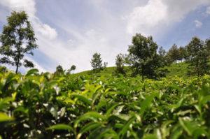 муннар чайные плантации